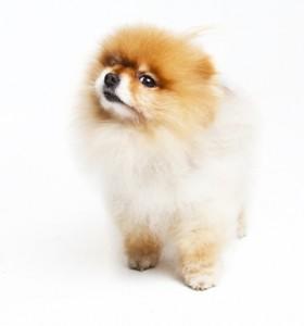 Pomeranian in a studio